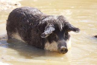 Cochon laineux 10.jpg