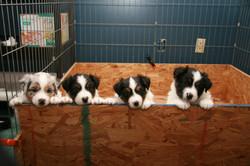 BO,Flip,Scarlett,Breeze 2-13-10 5 weeks old