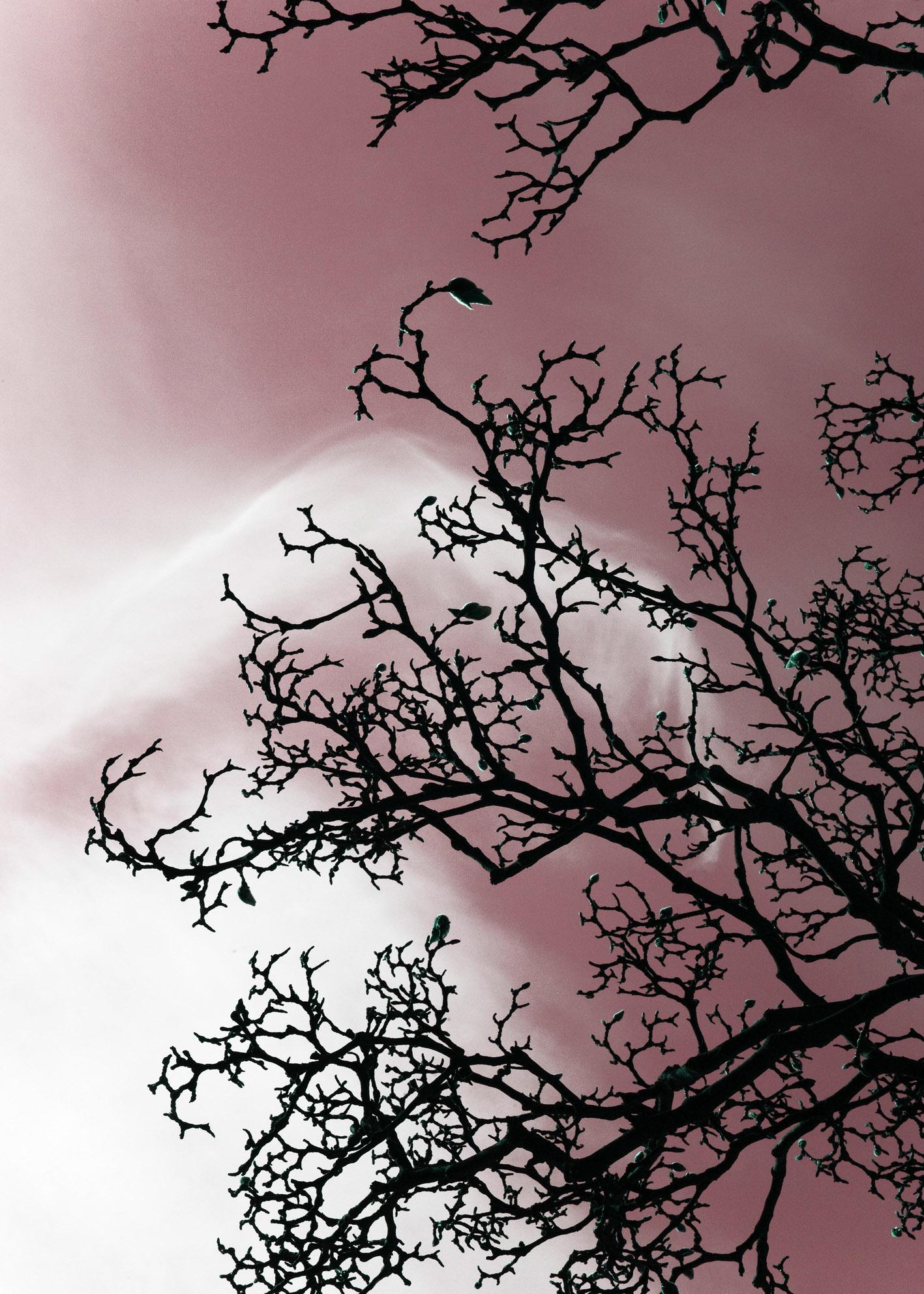 2008_Magnolia_pink_70x50Web