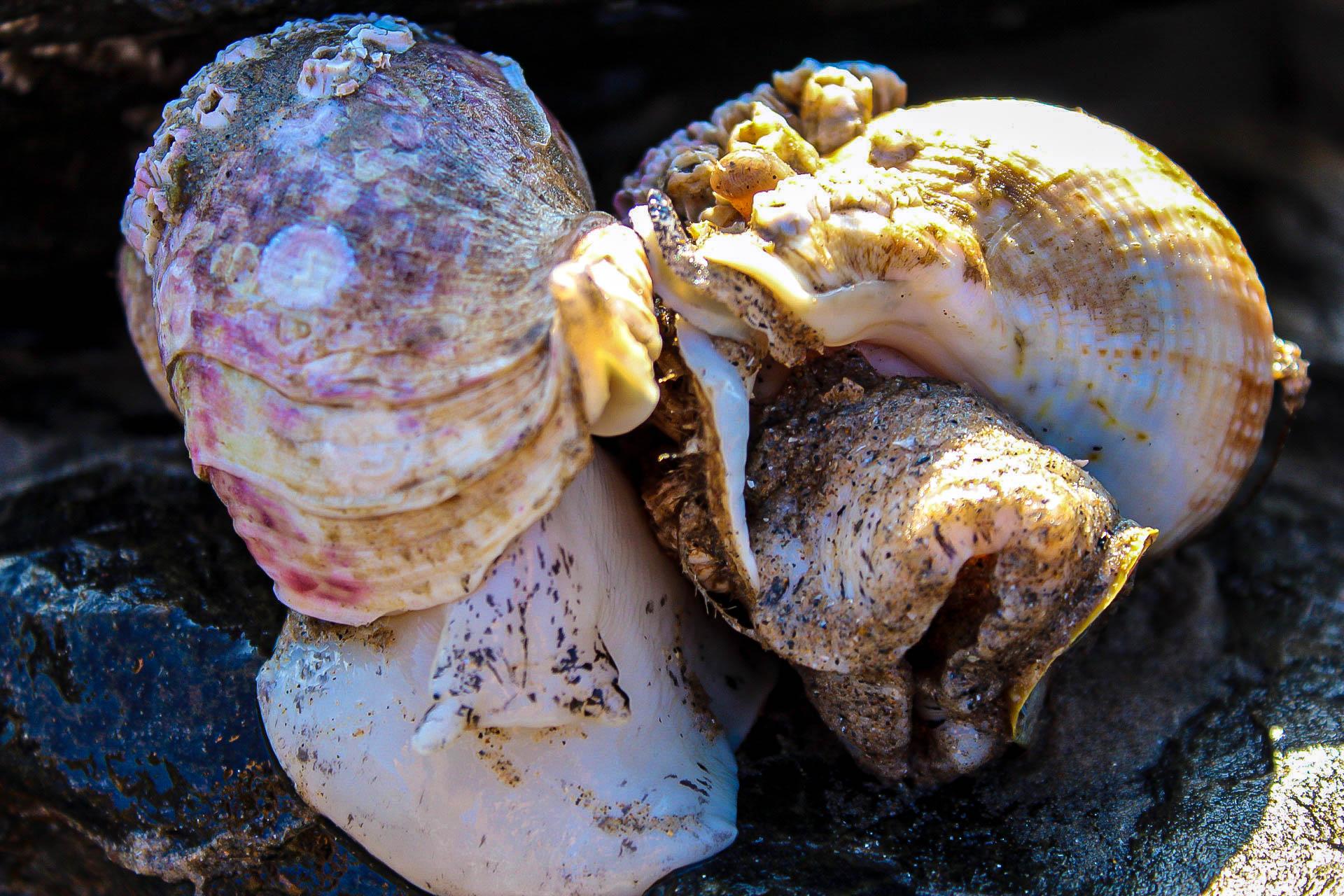 Common Whelks