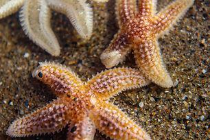 Common Starfish.jpeg