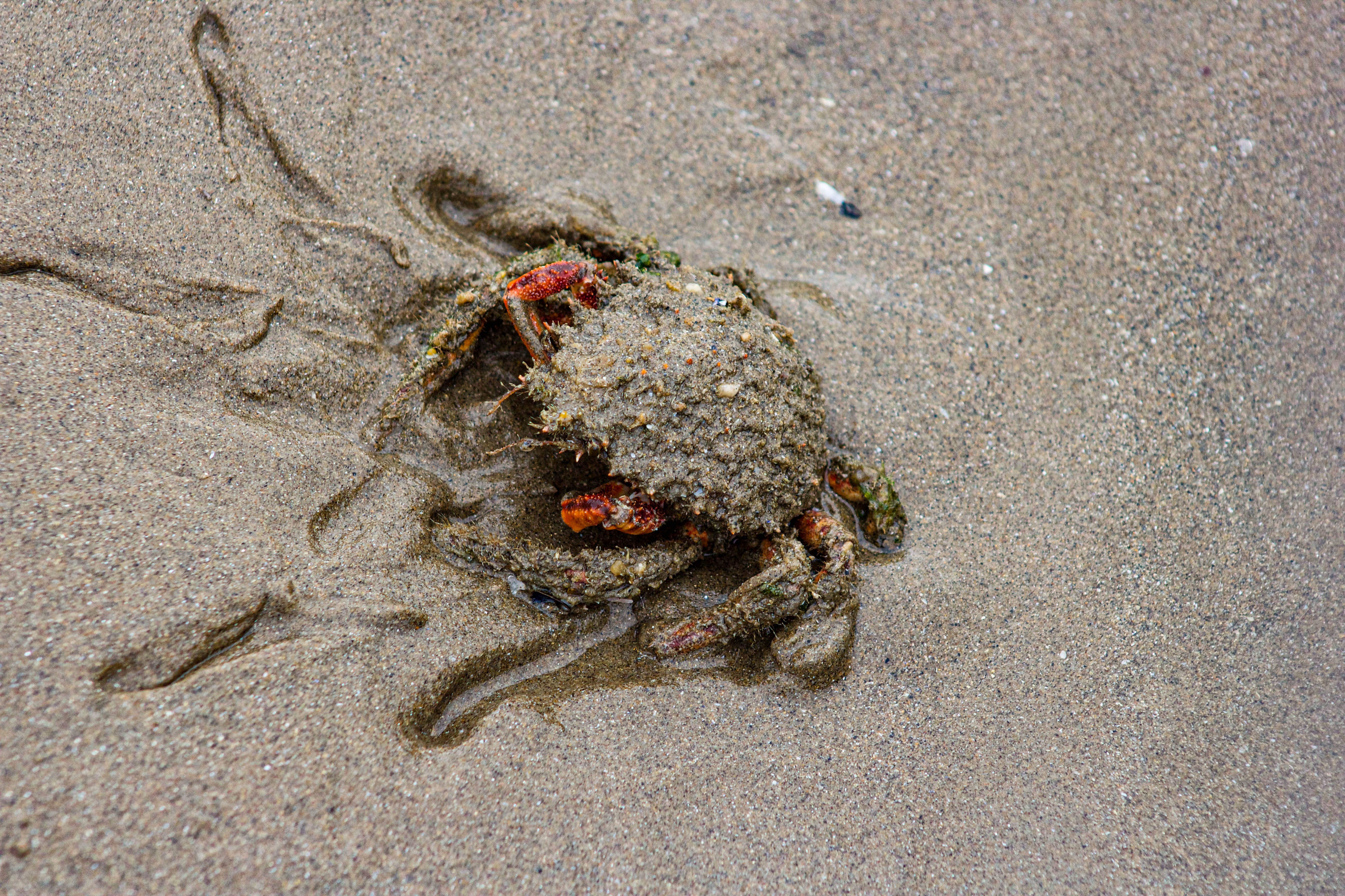 Spider Crab Sand