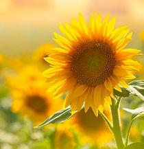 Sonnenblumen-Bluetezeit.jpg
