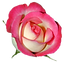 Pink_Rose_PNG_Clipart_Image.png