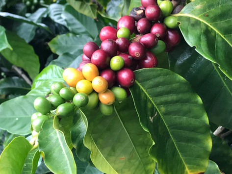 Java's Magical Journey From Tree To Cup