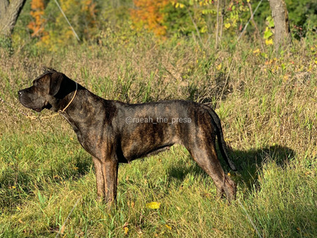 Is the Presa Canario the right breed for you?