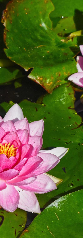 waterlily-3523277.jpg