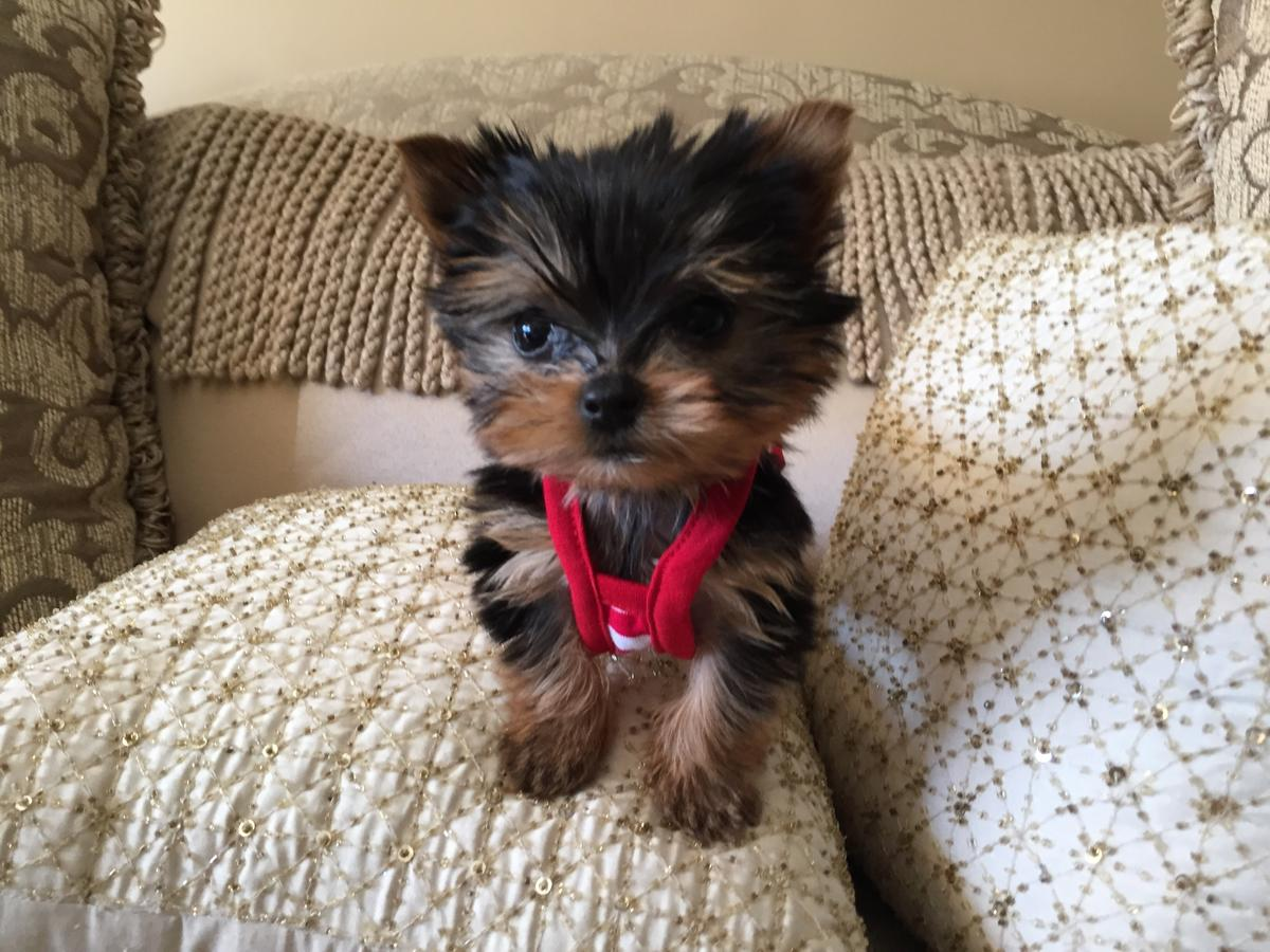 Affordable Male & female yorkie puppies for sale
