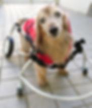 犬用車いす ミニチュアダックス