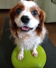 キャバリア 愛犬のアンチエイジングエクササイズ