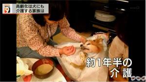 NHK ニュースウォッチ9でポッキーちゃんの介護のようすが紹介されました。老犬介護士 寺井聖恵