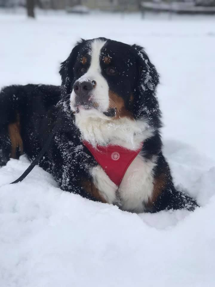 Four Ts Bernese Mt Dogs