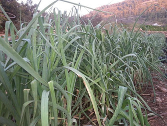 עלון מס' 67: 6.10.14 - הכנות ליום הפתוח, זריעות בחווה ולוח השנה הלאומי והחקלאי...