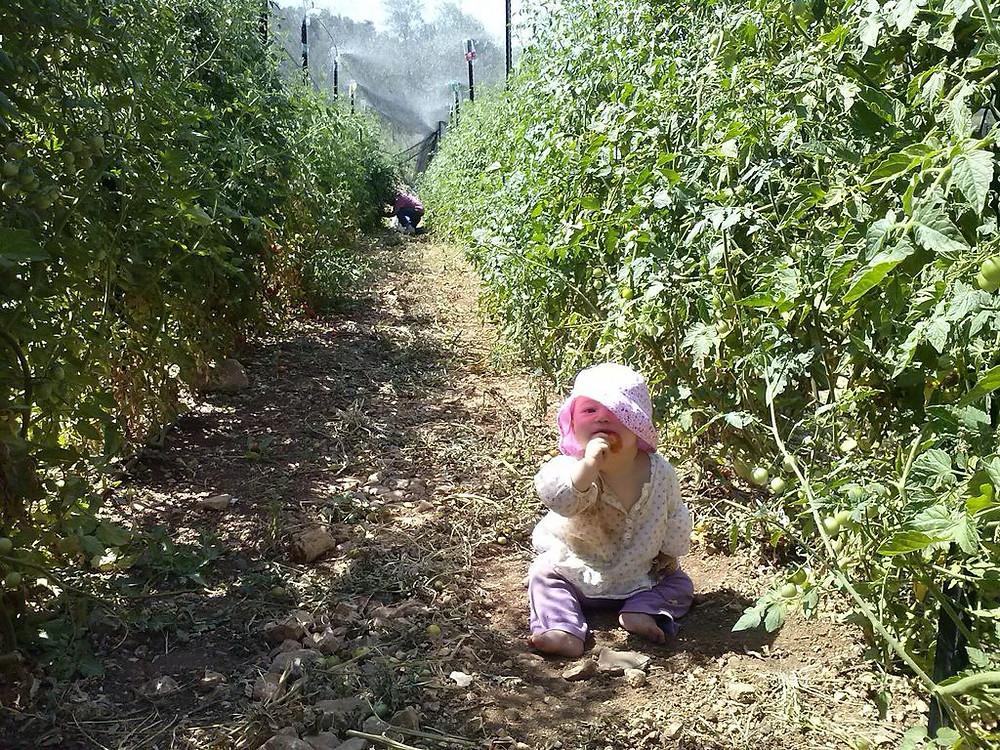 רות הקטנה בין צמחי עגבניות שרי בחווה.jpg