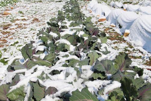 ערוגות השלג.jpg