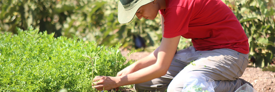 Nomi picking parsly