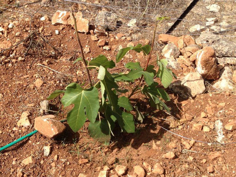 עץ תאנה צעיר בחווה בבית.JPG