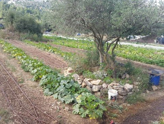 עלון מס' 102 - 16.6.15: שנתיים של סלי ירקות בעמק הקטן...