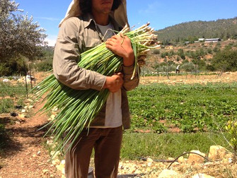עלון מס' 49: 2.6.14 - על סיוטי החקלאי עם הבצל הירוק, ותזכורת על ירקות העונה בחווה...,