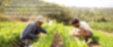 Tamir and Uri Picking in Kaima farm