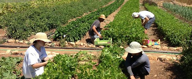 צוות ומתנדבי החווה בעת קטיף שעועית