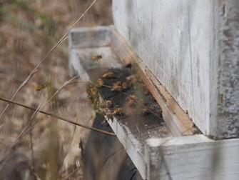 עלון מס' 23: 27.11.13 - על דבש בבית זית, גל החום בעונת החורף, הקשר של חנוכה לחקלאות ומילות פרידה לא
