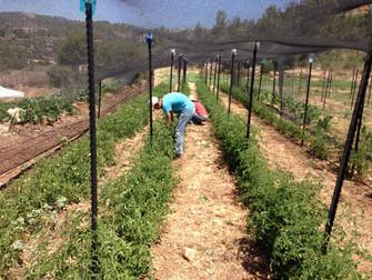 עלון מס' 52: 25.6.14 - גידולי הקיץ בשדה וסיפורי עגבניות...