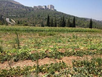 עלון מס' 59: 13.8.14 - סוגי דלעות שונים, הכנות לחורף וצפי ירקות לחודשים הקרובים...