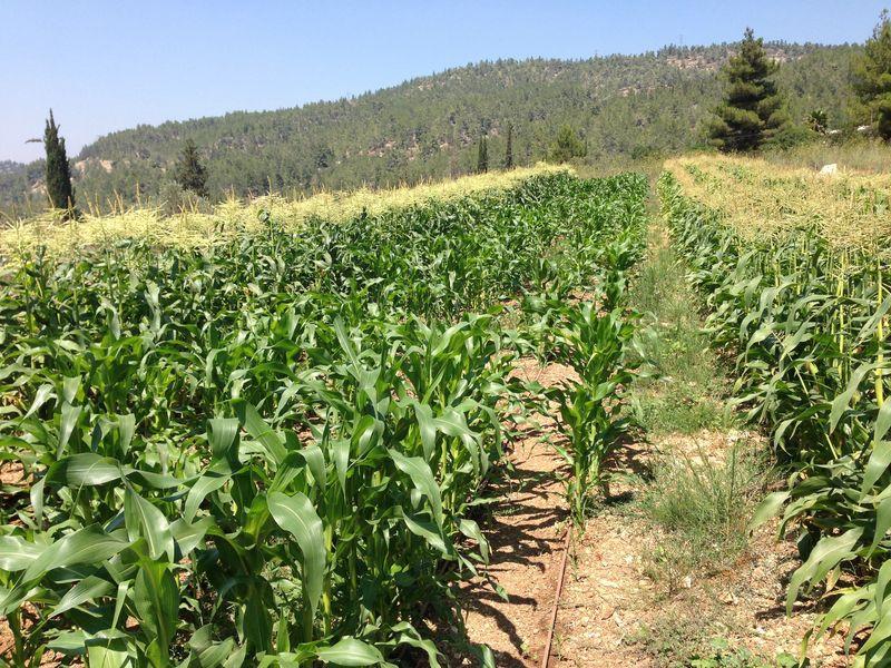 שדות תירס בחוות קיימא.JPG