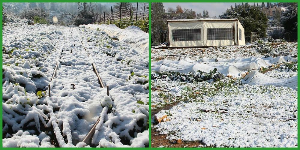 collage-שלג בחווה.jpg