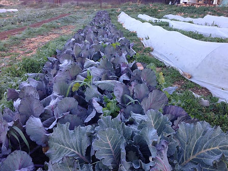 ערוגות הכרוב הסגול red cabbage