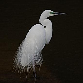 Great egret with breeding plumage.jpg