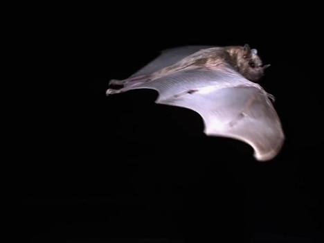 Bat Reference