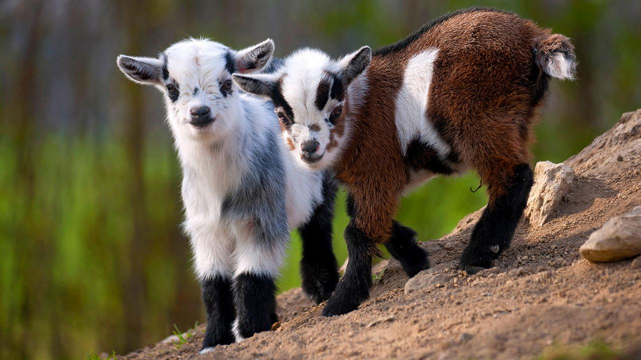 sn-goats