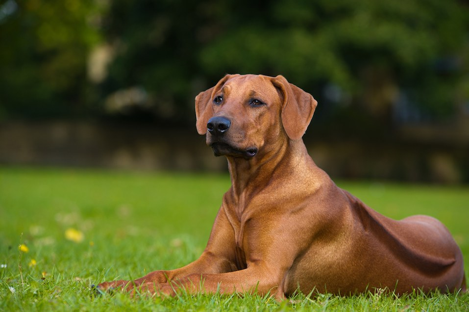 Beautiful-dog-rhodesian-ridgeback-puppy