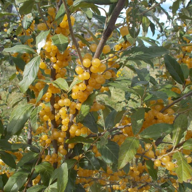 autumn olive.jpg