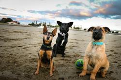 Miniature Pinscher, Collie X and a Malinois Puppy