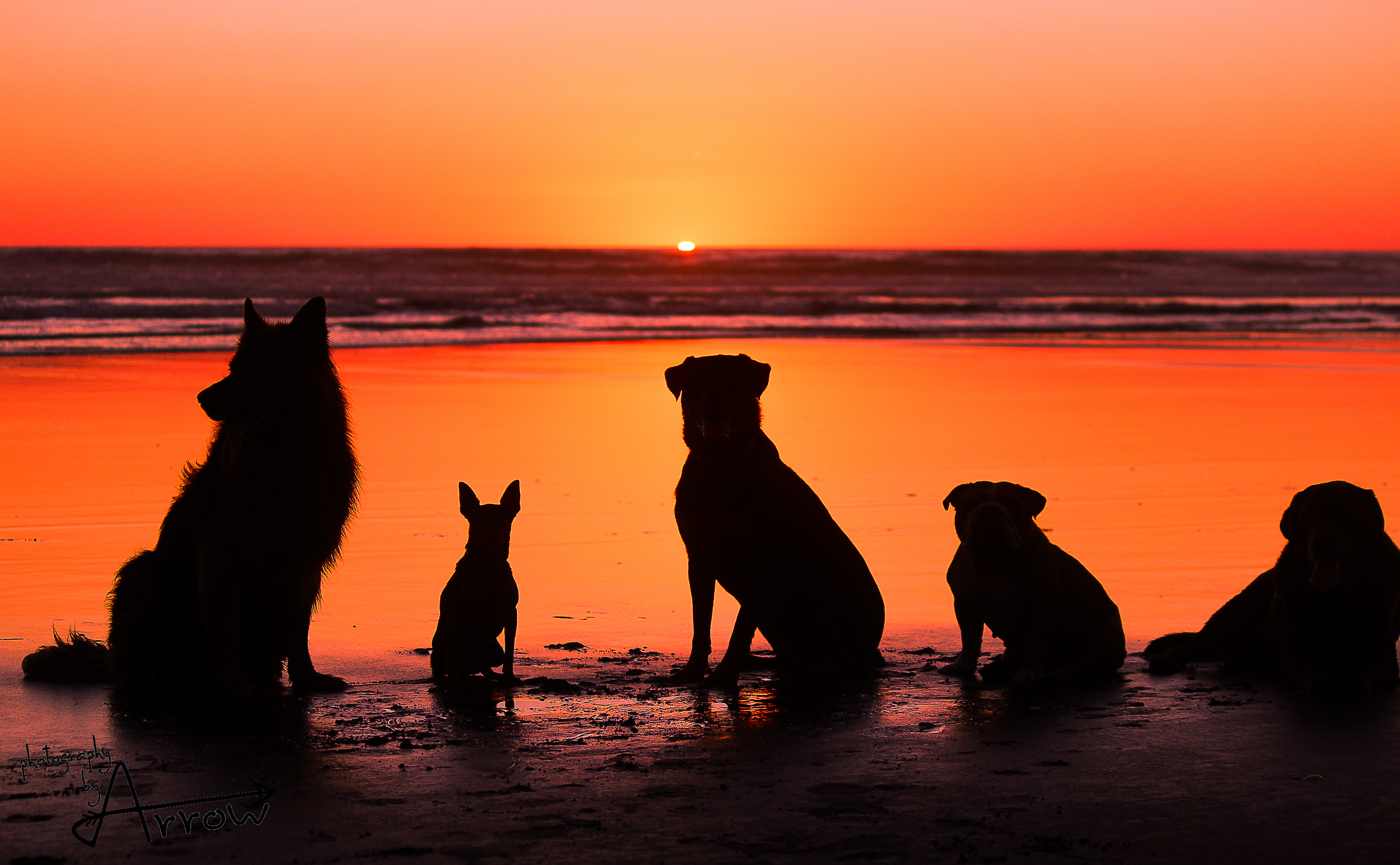 Beach sunset silhouette of 5 dogs