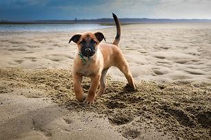 Malinois puppy on the beach