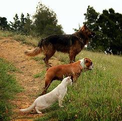 German Shepherd, Bulldog and Burmilla (Cat)