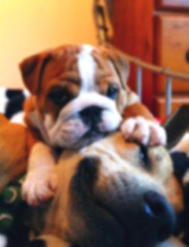 Bulldog puppy and Staffy