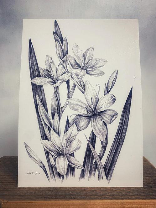 Kunstdruck DinA5 'Sumpfgladiole' - Atelier Vaya