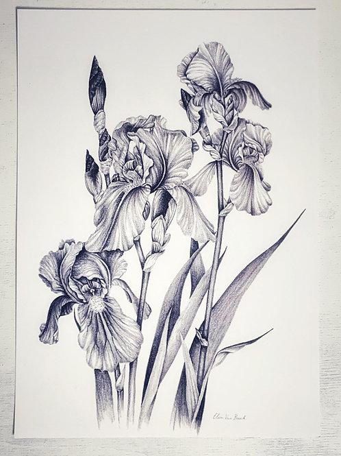 Kunstdruck DinA4 'Schwertlilie' - Atelier Vaya