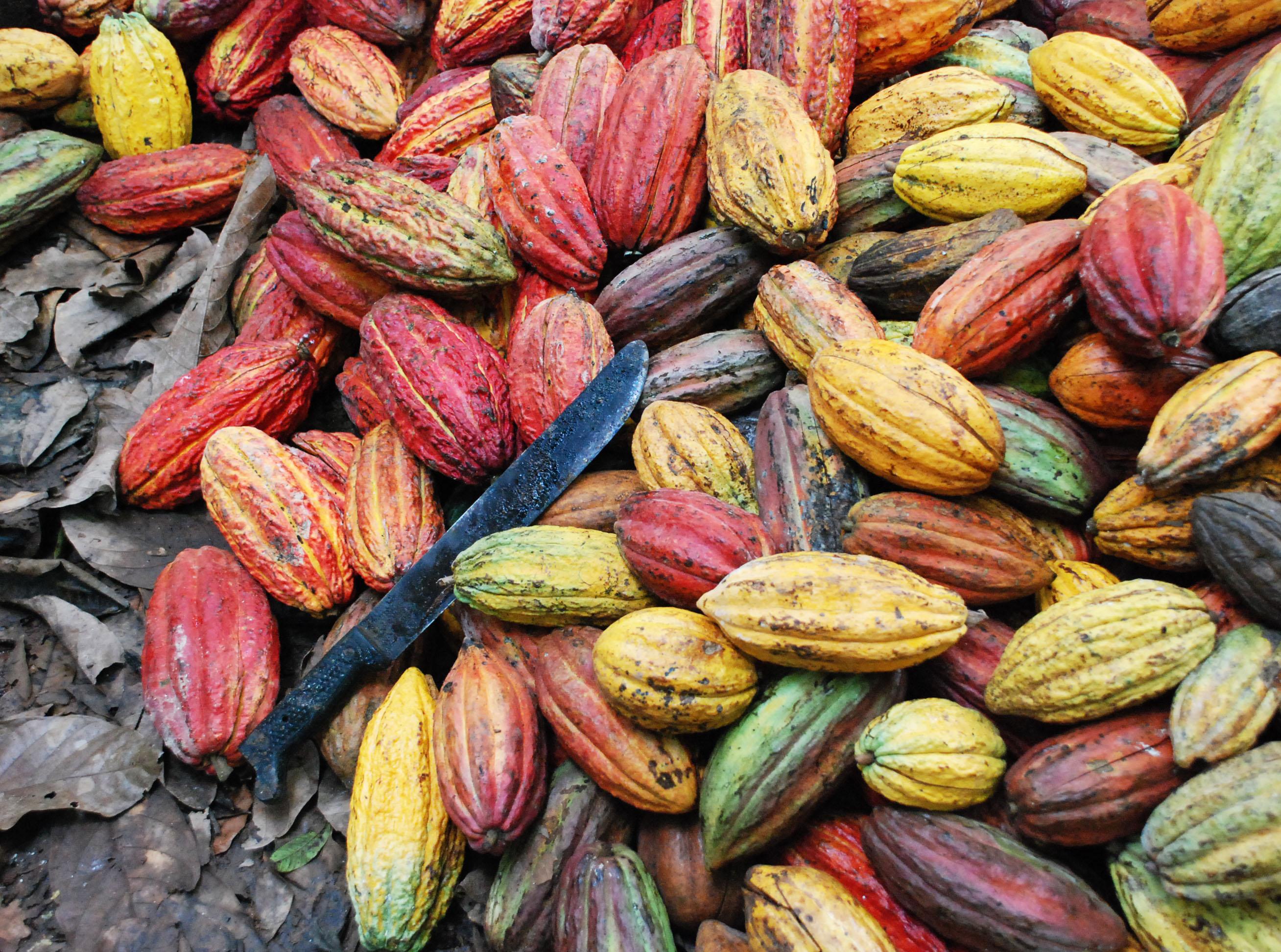 frutos-cacao-con-marchete
