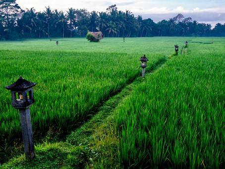 Rice Paddy in the Fog, Bali