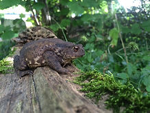 Large toad sitting on a log in a forest