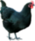 Тольятти молодки цыплята