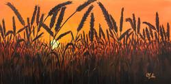 Wheat Field Sun Rise