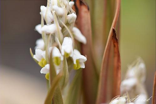 Wild Orchids (Spiranthes vernalis)