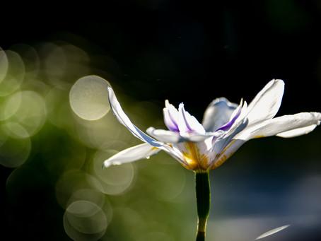 Favorite African Iris.